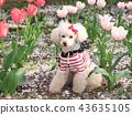 สุนัข,สุนัช,ทอยพุดเดิล 43635105