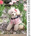 สุนัข,สุนัช,ทอยพุดเดิล 43635106