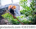 香港 海洋公园 小熊猫 红色 Hong kong red panda 43635883
