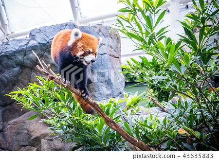 香港 海洋公園 小熊貓 紅色 Hong kong red panda 43635883