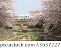 奈良佐渡河櫻花樹 43637227
