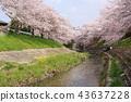 奈良佐渡河櫻花樹 43637228