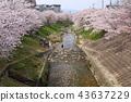 奈良佐渡河櫻花樹 43637229