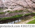 奈良佐渡河櫻花樹 43637230