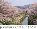 奈良佐渡河櫻花樹 43637231
