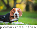 portrait of puppy beagle dog, animal concept 43637437