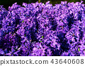 Blue hyacinth flowers 43640608