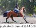 horse, rider, equestrian 43644226
