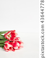 red tulips white background floral composition 43644778