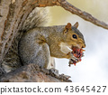 Eastern Gray Squirrel eating fruit 43645427