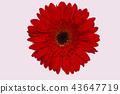 Gerber daisy flower isolated on white. 43647719