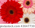 Colorful gerber daisies. 43647730