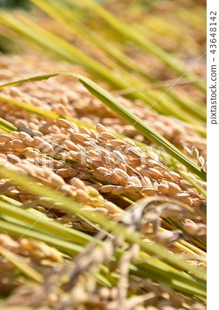 Rice-up 43648142