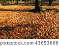 단풍, 낙엽, 가을 43653666