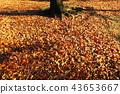 단풍, 낙엽, 가을 43653667