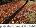 단풍, 낙엽, 가을 43653668
