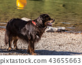 Bernese Mountain Dog 43655663