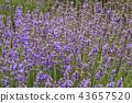 ลาเวนเดอร์,ดอกไม้,สมุนไพร 43657520
