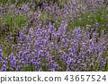 ลาเวนเดอร์,ดอกไม้,สมุนไพร 43657524