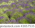 ลาเวนเดอร์,ดอกไม้,สมุนไพร 43657535