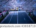 【도쿄의 벚꽃] 새벽 세이부 선 · 건널목 43658719
