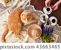 Scottish fold cat lying on table with coffee cups 43663465