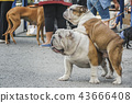Two English bulldogs of white and red flowers, one adult, another puppy are standing and looking up 43666408