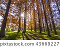 米祖莫托公園 水杉 楓樹 43669227