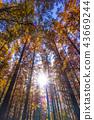 米祖莫托公園 水杉 楓樹 43669244