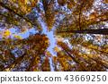 水杉 楓樹 紅楓 43669250