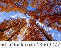 水杉 楓樹 紅楓 43669277