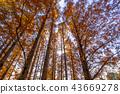 水杉 楓樹 紅楓 43669278