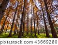 米祖莫托公園 水杉 楓樹 43669280