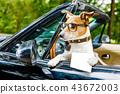 dog drivers license  driving a car 43672003