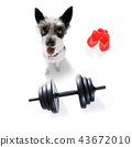 dog  with dumbbell 43672010