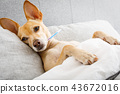 sick ill dog in bed 43672016