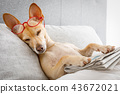 dog in bed with  newspaper 43672021