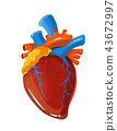Human heart anatomy vector medical illustration 43672997