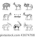 African wild antelope, deer or doe. Duiker and springbok. An animal in a safari. Vintage Mammal 43674768
