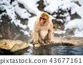 나가노지고 쿠 다니 온천 온천에 들어가는 원숭이 43677161