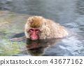 나가노지고 쿠 다니 온천 온천에 들어가는 원숭이 43677162