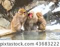 나가노지고 쿠 다니 온천 온천에 들어가는 원숭이 43683222