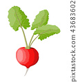 Radish with leaves isolated on white. 43683602