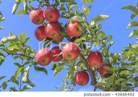 사과, 빨간사과, 사과나무, 가을, 문경시, 경북 43686402