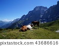 cow, cattle, cows 43686616