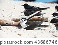 michaelmas cay, bird, birds 43686746