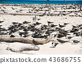 michaelmas cay, bird, birds 43686755