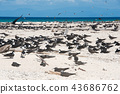 michaelmas cay, bird, birds 43686762