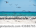 michaelmas cay, bird, birds 43686765