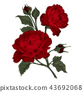 Beautiful red rose isolated on white. 43692068